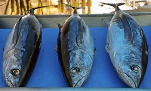 Tuna, albacore (Alalunga) (Thunnus alalunga)