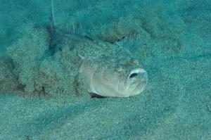 Stargazer, Atlantic (Pesce prete / Pesce lucerna) (Uranoscopus scaber)
