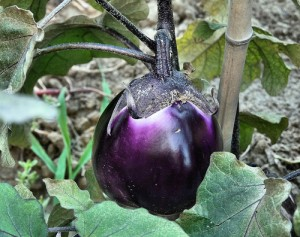 Aubergine by Barbara