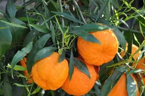 Bitter orange / Sour orange / Seville orange / Bigarade orange (Arancia amara / Arancia di Siviglia) (Citrus aurantium)
