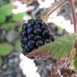 Blackberry by Kingsbrae Garden