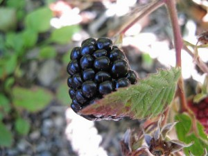 Blackberry by Kingsbrae Garden