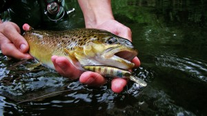 Brown trout (Trota fario) (Salmo trutta fario)