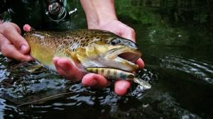 Brown trout (Trota fario) (Salmo trutta fario)