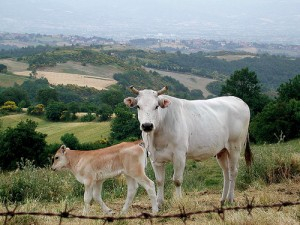 Chianina cattle by Monica Arellano-Ong