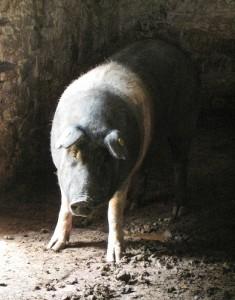 Pork (Maiale / Suino) (Sus domesticus)