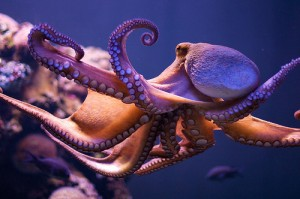 Common octopus (Polpo / Piovra) (Octopus vulgaris)