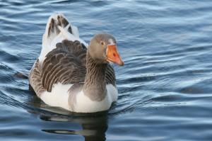 Goose (Oca) (Anser anser, Cygnopsis cygnoides)
