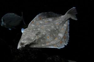 Plaice, European (Platessa) (Pleuronectes platessa)