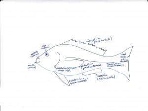 Fish anatomy by Meimanrensheng