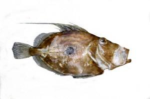 John Dory / St. Pierre / Peter's Fish (Pesce San Pietro / Sampietro / Pesce cetra / Pesce gallo) (Zeus faber)