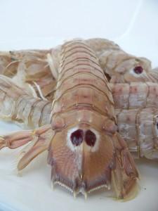 Mantis prawns (Canocchia / Panocchia) (Squilla mantis)