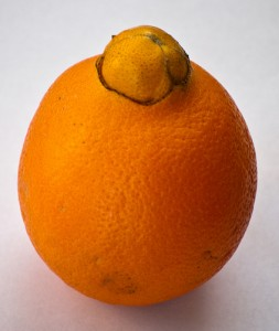 ommon orange / Juicing orange (Arancia dolce) (Citrus sinensis)