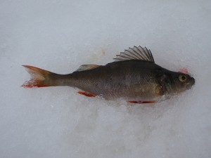 Perch / European perch / Redfin perch / English perch (Pesce Persico / Perca/ Persico reale) (Perca fluviatilis)