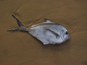 Pomfret (Pesce castagna) (Brama brama)
