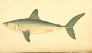 Shark (Squalo / Palombo / Vitello di mare, Smeriglio, Spinarolo, Squalo volpe, Verdesca) (Mustelus mustelus, Lamna nasus / Isurus oxyrinchus, Squalus acantias, Alopias vupinus, Prionace glauca)