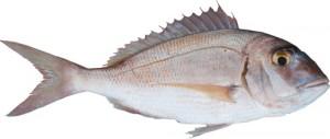 Porgy, red (Pagro / Pagro mediterraneo) (Pagrus pagrus)