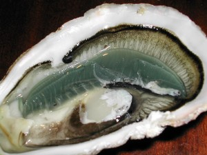 Rock oyster / Pacific oyster / Japanese oyster / Concave / Gigas (Ostrica giapponese / Ostrica concave) (Crassostrea gigas)