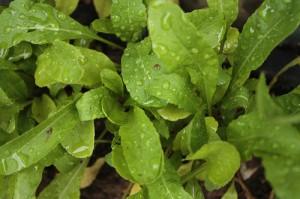 Rocket / Arugula / Rucola (Rucola) (Eruca sativa, Diplotaxis tenuifolia)