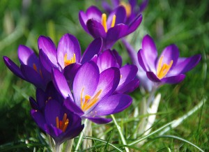 saffron (Zafferano) (Crocus sativus)
