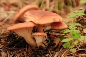 Saffron milk-cap / Red pine (Agarico delizioso / Sanguinello) (Lactarius deliciosus)