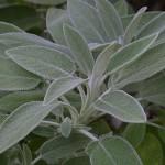 Sage (Salvia) (Salvia officinalis)
