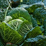 Savoy cabbage by William Warby