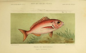 Sea bream (Pagello / Occhialone / Pezzogna) (Pagellus bogaraveo / Pagello centrodontus)