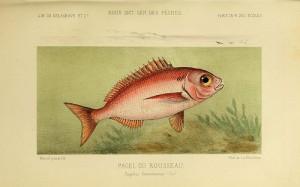 Sea bream (Pagello / Occhialone / Pezzogna) (Pagellus bogaraveo / Pagello centrodontus)