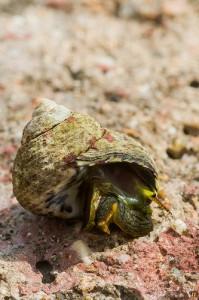 Sea snail (Lumaca di mare / Chiocciola di mare) (Trochocochlea turbinata)
