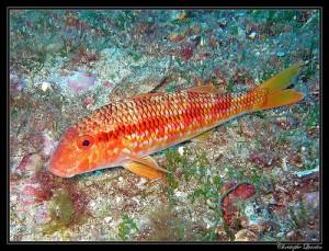 Mullet, Striped Red (Triglia di scoglio) (Mullus surmuletus)