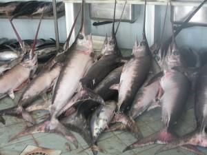 Swordfish (Pesce spada) (Xiphias gladius)