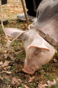 Truffle pig by Pim Techamuanvivit