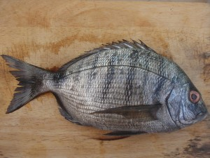 Sea bream, white (Sarago / Sargo) (Diplodus)