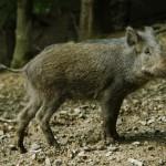 Wild Boar (Cinghiale) (Sus scrofa)