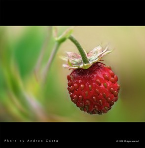 Strawberry / European wild strawberry/ Alpine strawberry (Fragola / Fragolina / Fragola di bosco / Fragola selvatica) (Fragaria vesca)