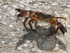 Yellow shore crab