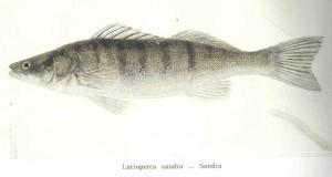 Zander (Lucioperca/Sandra) (Sandra lucioperca)