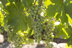 Merlot grapes destined to become Masseto wine