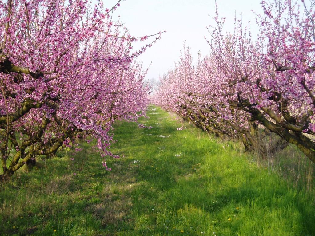 Peach trees in Forli Cesena by Ilpassatore