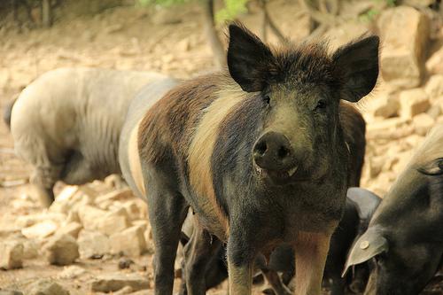 Cinta Senese pigs by Michela Simoncini