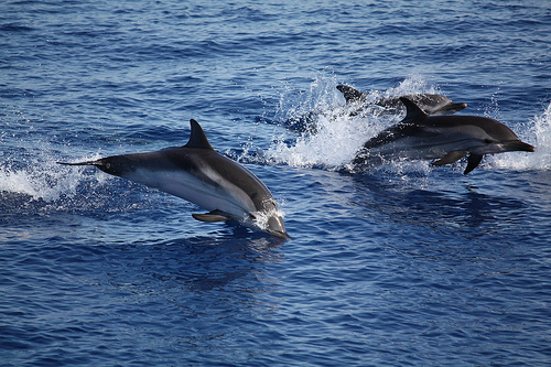 Dolphins near Isole Eolie