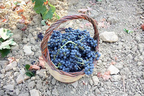 Grape harvest in Sicilia