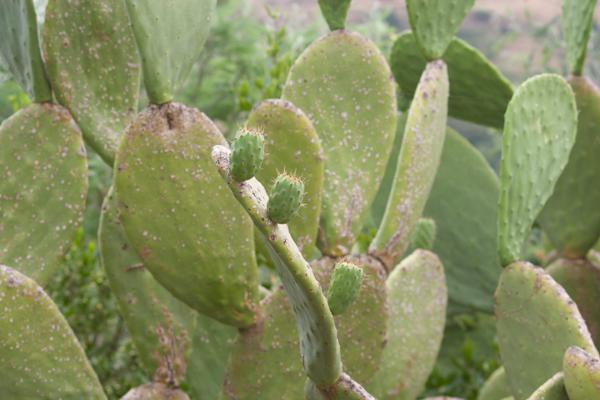 Cactus with cactus figs
