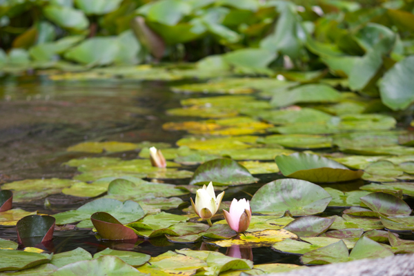 Water lilies in Villa Carlotta's gardens