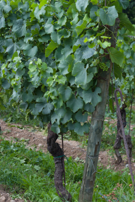 Vines in Franciacorta