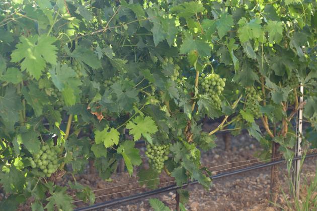 Dal Forno vines