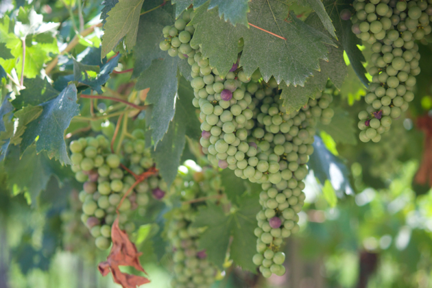 Valpolicella grapes