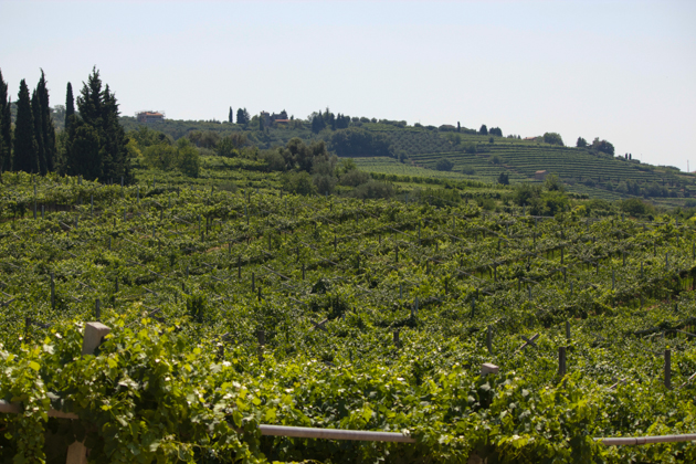 The vineyard in Marano