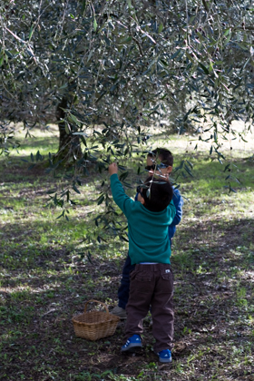 The brothers picking olives